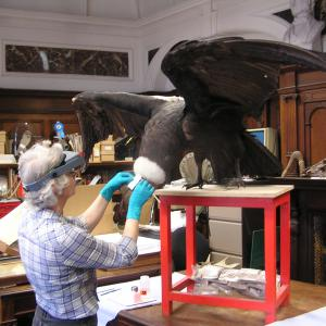 Allyson Rae conserving an Andean Condor specimen in preparation for its display in The Wonder of Birds exhibition at the Castle Museum, Norwich in May 2014. Image courtesy of Dr David Waterhouse and Norfolk Museum Service.